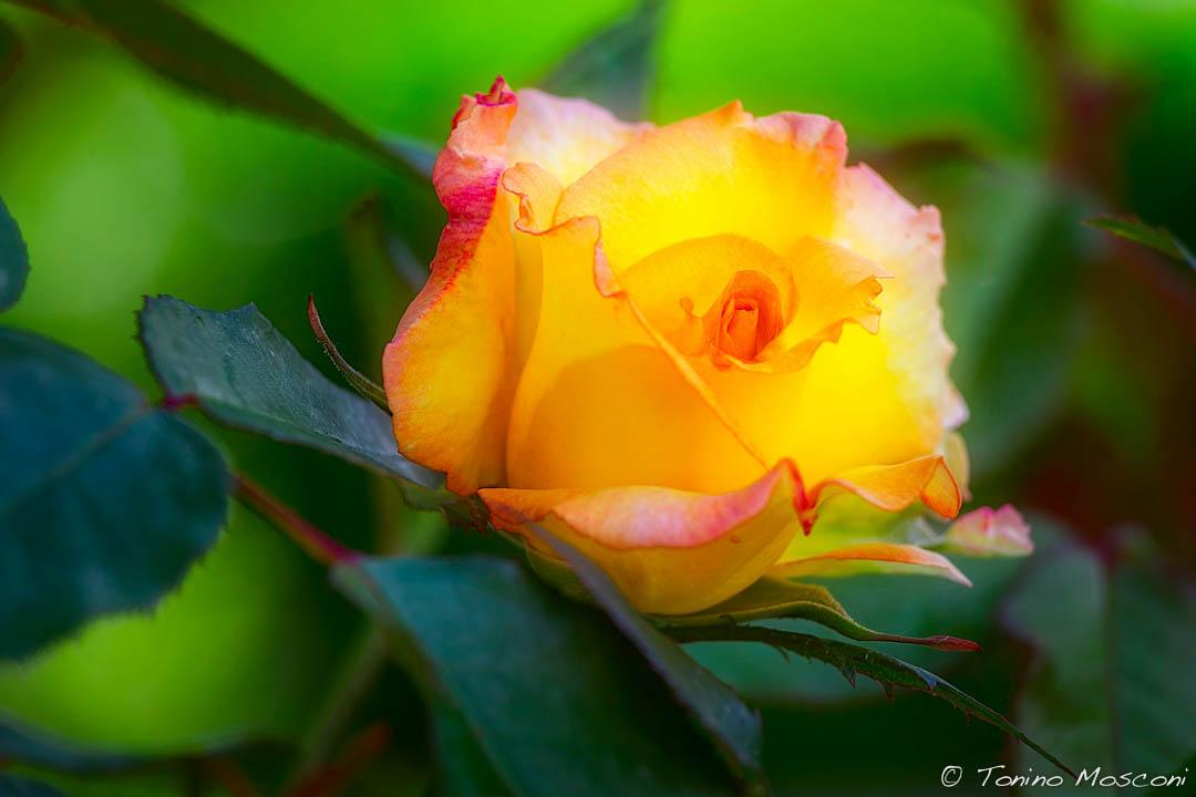 Fleurs tmosconi 1401