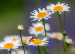 Fleurs tmosconi 1411